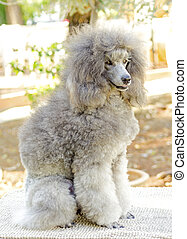 Miniature Poodle - A close up of a small beautiful and...