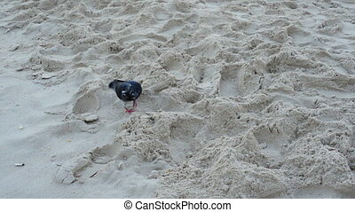 Lame pigeon on sand - Lame pigeon on the beach sand