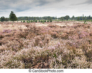 heathland - heath landscape with heather and trees in autumn