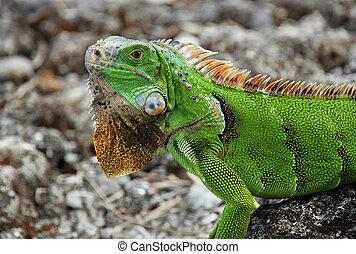 Green Iguana Iguana Iguana, Cozumel, Mexico