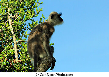 Grey Langur in a Tree - Profile View of a Grey Langur...