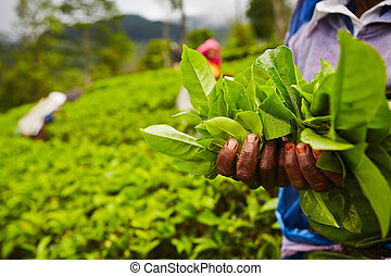 Tea plantation - Hands of women from the tea plantation -...