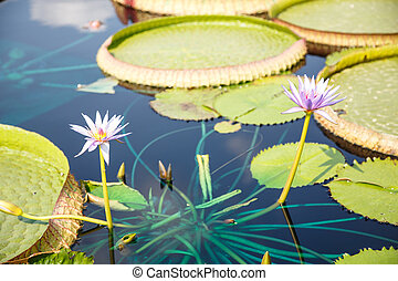 Two Lillies and Lilly Pads - Large green lilly pads in a...