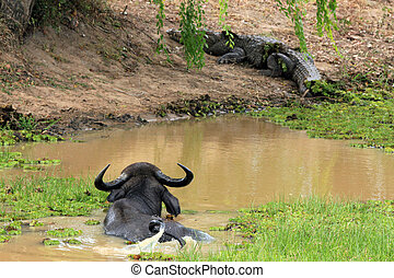 Water Buffalo and Mugger Crocodile - Asian Water Buffalo...