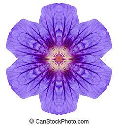 roxo, Mandala, geranium, flor, isolado, branca