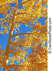 Yellow Aspen Tree