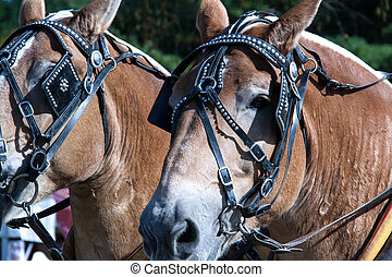 Workhorse - Pair of work horses in their harness
