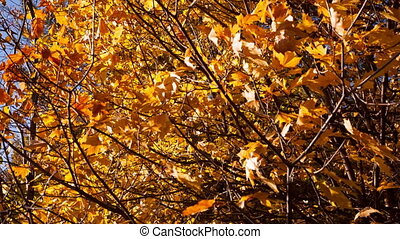 beautiful autumn yellow leaves - dolly shot
