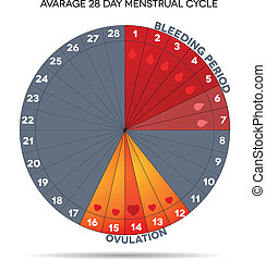 Menstrual cycle graphic. Avarage menstrual cycle days....