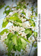spring white cherry flowers on tree - beautiful spring white...