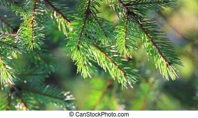 fir twigs close-up