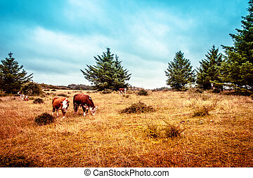 Hereford cattle on the prarie