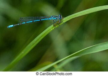 Blue damselfly sitting on a green leaf