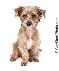 Terrier Mixed Breed Puppy Sitting - An adorable scruffy...
