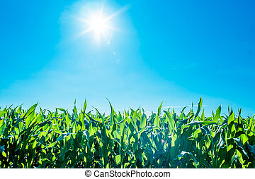 Sunshine over cornfield
