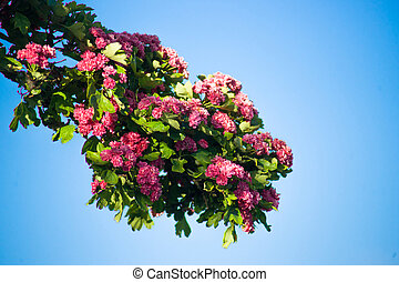 Branch with pink flowers - Pink flowers on a branch isolated...