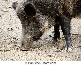 Wild boar - Sus scrofa