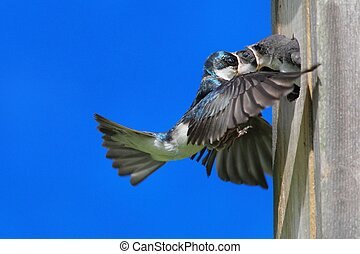 Tree Swallow Feeding Babies - Tree Swallow (tachycineta...