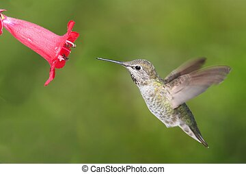 Annas Hummingbird Calypte anna in flight at a flower with a...