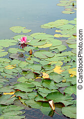 Pink water lily green leaves (Species: Nymphaea Masaniello)...