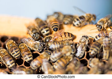 Queen Bee on Honeycomb - Detail of bees swarming on...