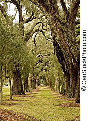 Tunnel of Oaks - Massive old southern oak trees draped with...