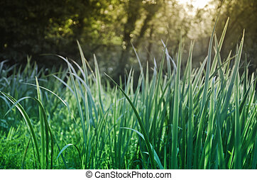 Grass in the morning dew. Natural background.