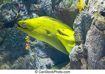 yellow  moray fish in coral reef close-up