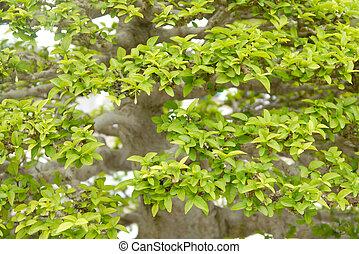 bonsai, árbol