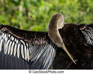 Female Anhinga Bird Preening its Feathers in the Florida...