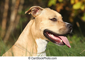 Beautiful American Staffordshire Terrier in autumn nature