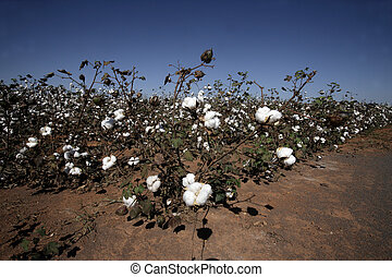 Cotton being grown in a field, Brazil