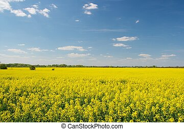Agricultural field - Vast field of blooming yellow rape...