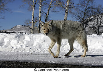 Coyote, Canis latrans, single mammal in snow, Yellowstone,...