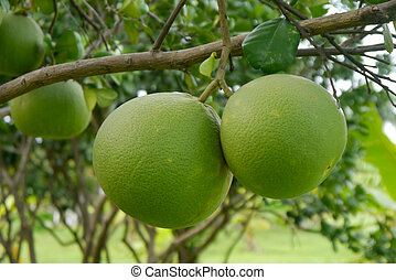 Pomelo tree. name is Taptim Siam of Thailand.