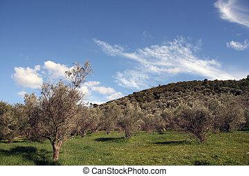 aceituna, árboles, naturaleza