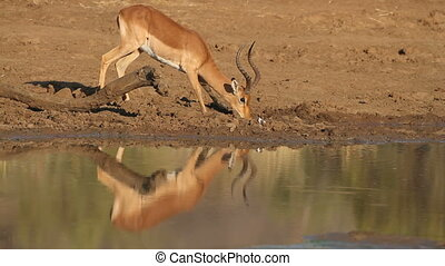 Impala antelope drinking - Impala antelope (Aepyceros...