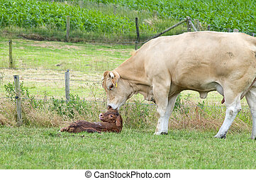 Just Born - White cow cleaning her just born baby cow.