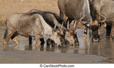 Wildebeest drinking water - Blue wildebeest (Connochaetes...