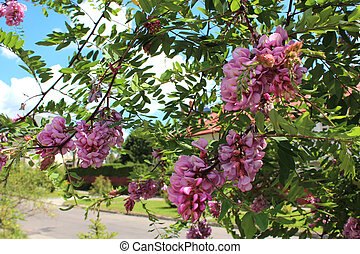 pink flowers of blossoming acacia