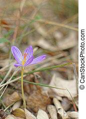 Colchicum autumnale - Autumn flowers - Colchicum autumnale,...