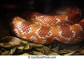 Corn snake on dry leaves