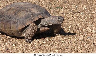 Desert Tortoise - a desert tortoise in arizona