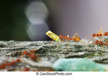 weaver ant is carrying a food on the tree bark