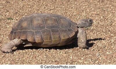 Desert Tortoise - a desert tortoise walking slowly