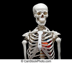 Skeleton model with a heart in it