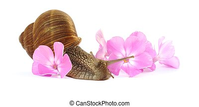 Snail in pink flowers - grape snail moving throw phlox...