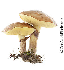 mushrooms - edible mushrooms (Suillus luteus) on white...