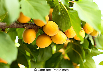 Ripe apricots grow