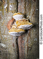 Tinder Fungus - Tinder fungus at the tree in a forest in...